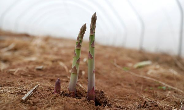 Brexit crisis tipped for British asparagus as EU seasonal workers stay away