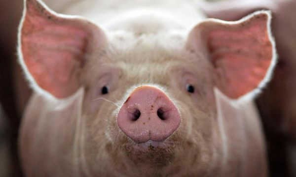 Yale study revives cellular activity in pig brains hours after death